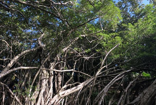 小笠原諸島 ガジュマルの木
